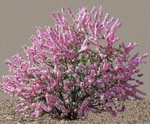 Миндаль – листопадный кустарник или небольшое деревце с розовыми или белыми цветками, костянками округлого вида. Растение нетребовательно, переносит городские условия