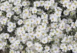 Ясколка – неприхотливое растение, славящееся своей красивой «шапочкой» из множества бело-серебристых цветков