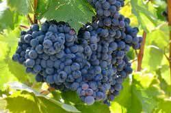 Виноград «Молдова» является столовым сортом
