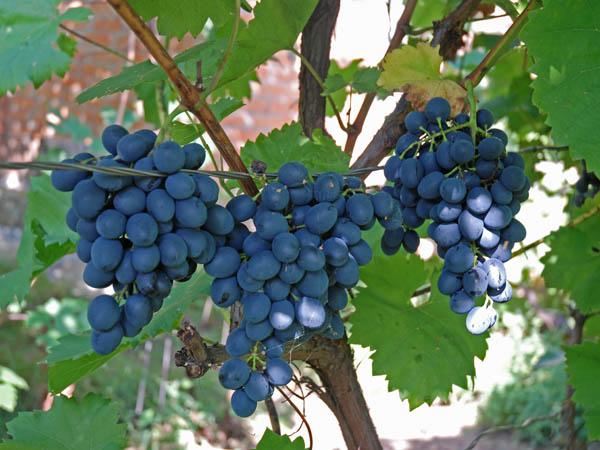 Сорт «Молдова» относится к виноградам столового направления и характеризуется поздним сроком созревания урожая