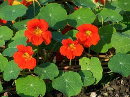 Правильная агротехника и соблюдение условий выращивания — залог красоты настурции