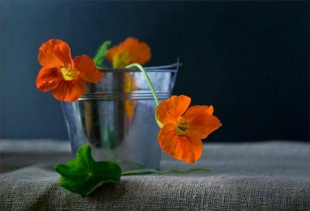 Придерживайтесь правил выращивания настурции и вы получите красивые растения в саду или для украшения жилой территории