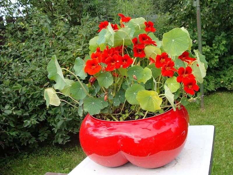 Растение является светолюбивым и теплолюбивым