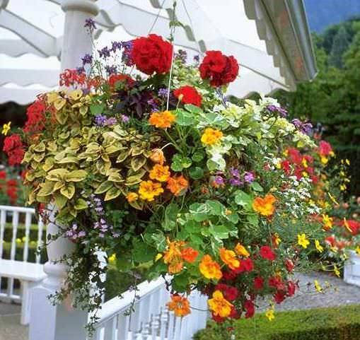 Старайтесь высаживать настурцию в местах, хорошо защищенных от сквозняков, ведь практически все растения плохо относятся к холодному ветру