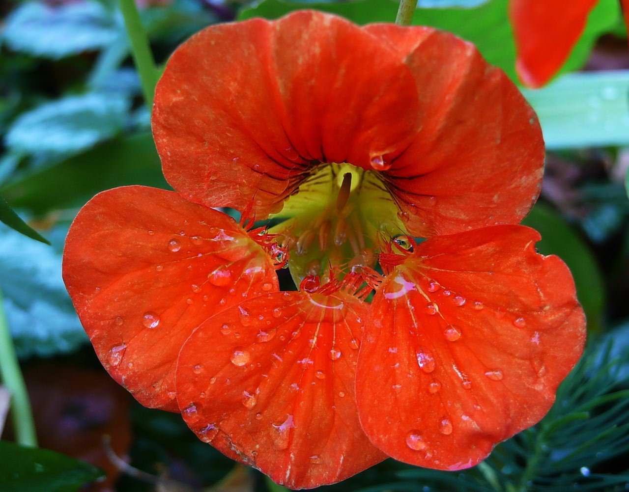 Размножение настурции можно провести семенами или путем выращивания рассады