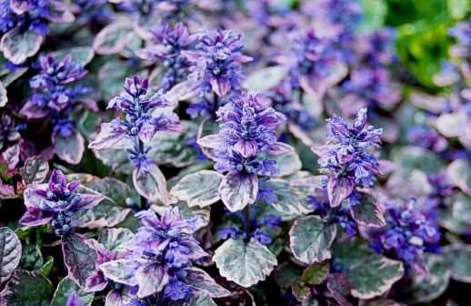 Живучка – идеальное декоративное растение, очень часто используется в ландшафтном дизайне