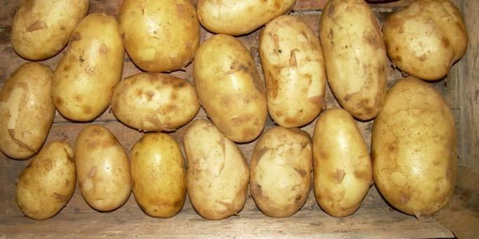 Сорта «Весна розовая» и «Весна белая» обладают устойчивостью к картофельному раку