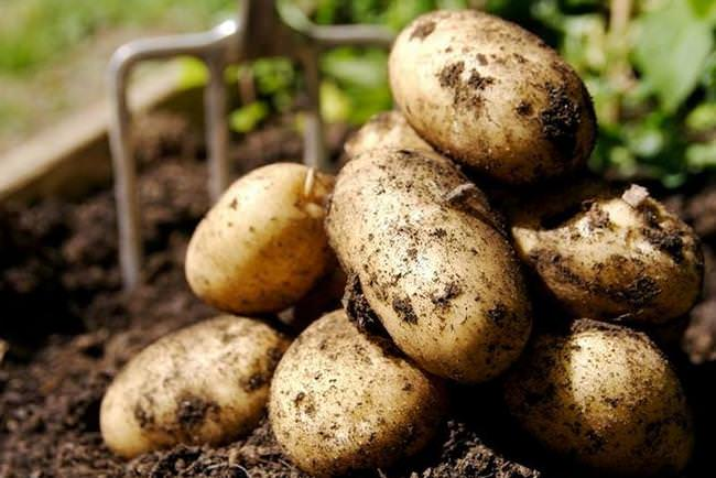 В обязательном порядке ведутся работы по уборке картофеля