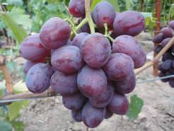 Виноград «Низина» созревает в средние сроки