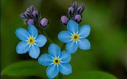 Незабудки – маленькие голубые цветы радуют глаз и поднимают настроение