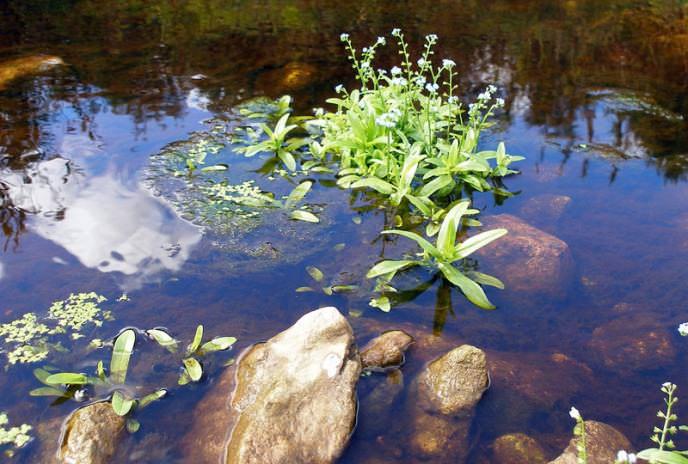 Незабудка болотная растет на берегах болот, рек, озер, так как любит влажную почву