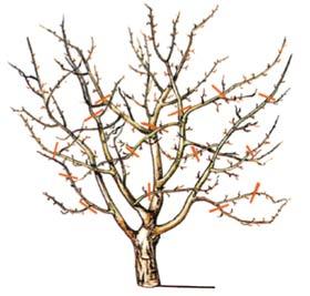 Внимательно изучите правила обрезки взрослых деревьев