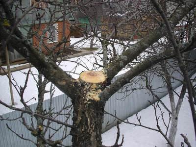Обязательно уберите верх ствола, сделайте крону яблони более просторной для проникновения света