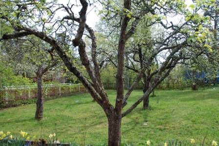 Особенности обрезки старых плодовых деревьев имеют очень серьезное значение