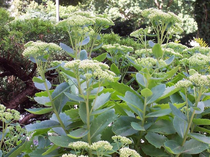 Очиток — довольно интересное растение, которое, в разных своих видах, может быть практически неузнаваемое