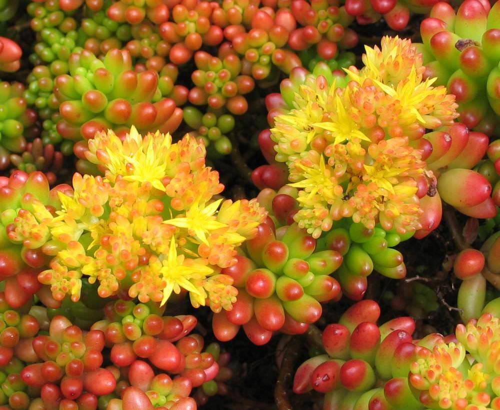 Если растение занимает место на клумбе или в альпинарии, его следует удобрять в начале и конце сезона