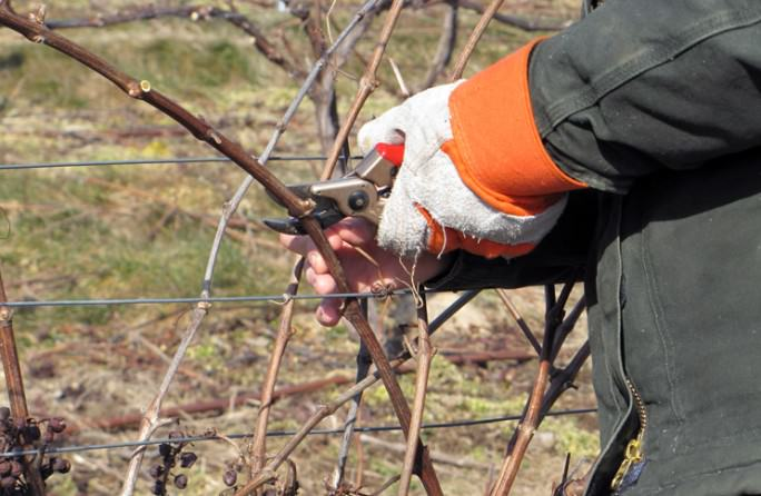 Обрезку виноградных кустов требуется проводить регулярно, в период покоя лозы