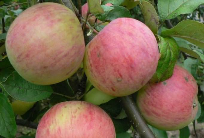 Плоды яблони сорта «Штрифель» имеют крупные размеры