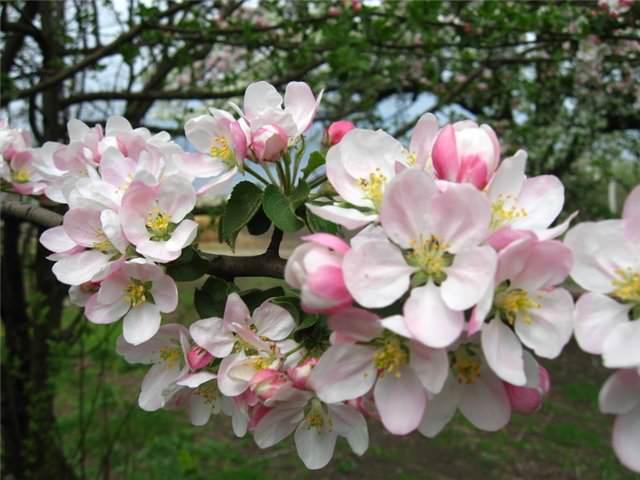 Яблоня «Штрифель» цветет в мае