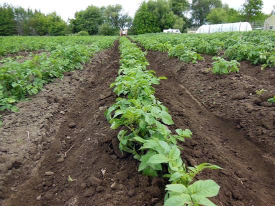 Окучивание картофеля «Лабелла» стимулирует формирование дополнительных столонов