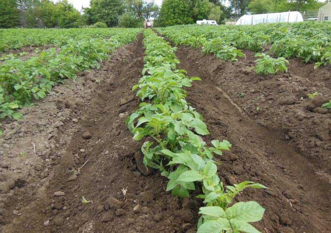 Основной уход за картофелем «Ирбитский» заключается в окучивании
