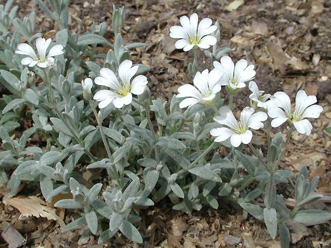 Ясколка биберштейна – густоопушенное растение с характерным седым цветом также образует плотные подушки