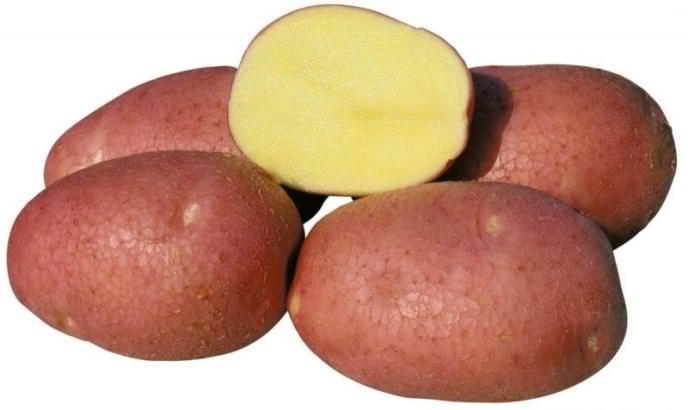 Картофель «Беллароза» относится к числу наиболее перспективных и неприхотливых сортов