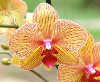 Орхидеи любят влажность, однако, полив должен быть умеренным