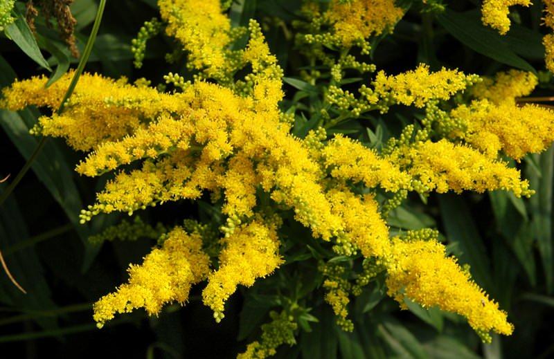 лекарственные растения с желтыми цветами фото и названия для таких