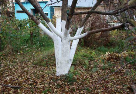 Побелка деревьев должна быть своевременной! Не забывайте об этом!