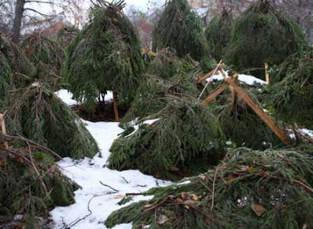Укрытие растений на зиму следует производить правильно и вовремя!