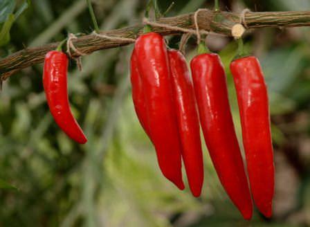Выращивание острого красного перца в теплице и открытом грунте