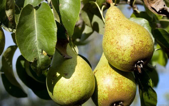 Груша «Деканка зимняя» – среднее по размеру и морозостойкости дерево с очень крупными плодами, хранящимися до весны