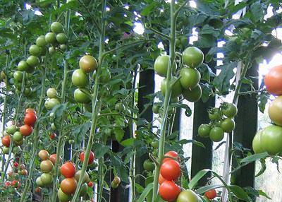 Качественный результат в выращивании томатов возможен только при соблюдении специальных правил