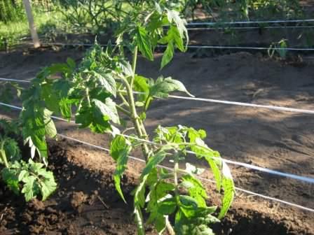 Не забывайте правильно подвязывать кусты томатов