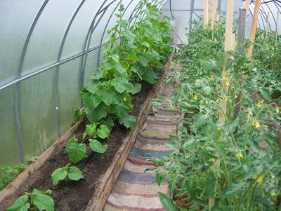 Не стоит выращивать в одной теплицы помидоры и огурцы одновременно