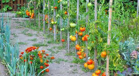 Загущенная посадка помидоров — это проблемы! Постарайтесь сделать посадки более редкими, как на данном фото