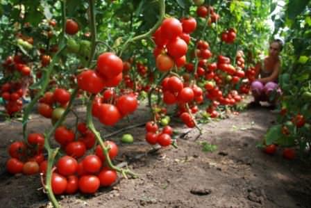 Перед вами хорошие томаты, выращенные без ошибок