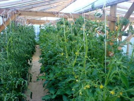 Помните, что для каждого сорта помидоров имеется собственная зона выращивания