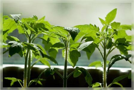 Качественная рассада томатов — первый шаг к высоким урожаям