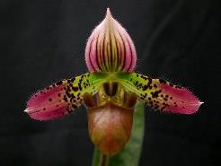 Орхидеи «Пафиопедилум» многим известны как «Венерин башмачок»
