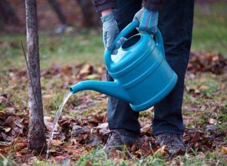 Подготовка вечнозеленых кустарников начинается с обильного увлажнения почвы
