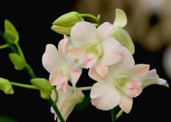 Цветы комнатной орхидеи мало кого могут оставить равнодушными