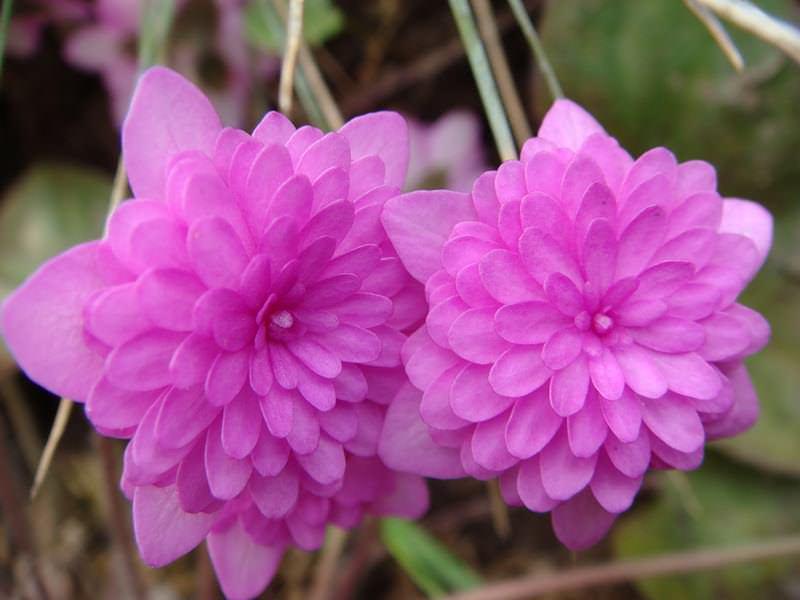 Наиболее оригинально в саду будут смотреться растения с розовыми лепестками. Они имеют насыщенный оттенок и цветут пышно
