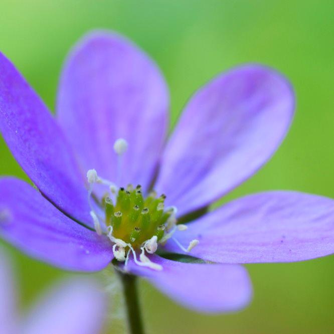 В средней полосе России широко распространен только один вид: печёночница благородная. Она обладает лазорево-синеватыми цветками, но могут встречаться растения и с розовым цветением