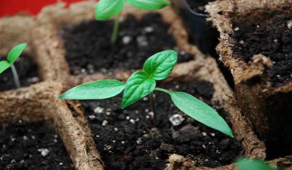 Таблица садовода наглядно показывает, что в последней декаде января можно начинать посев сладкого перца