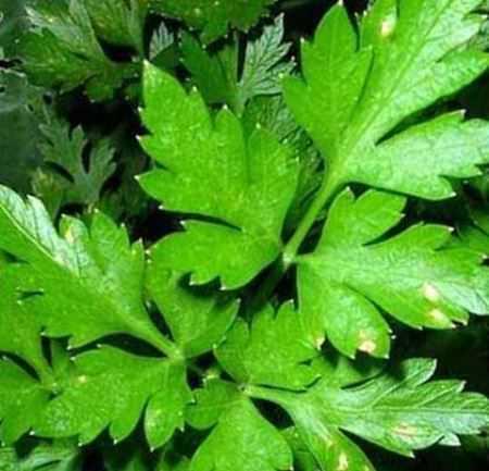 Посадка петрушки происходит по всем правилам агротехники данного растения, с желательной предпосадочной подготовкой семян