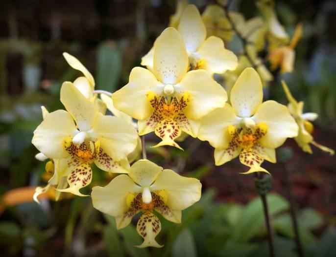 Цветы Фаленопсис Стюарта имеют красные пятна на основании и специфический рисунок губы, которая обладает золотисто-желтым или оранжевым цветом с бордовыми пятнами