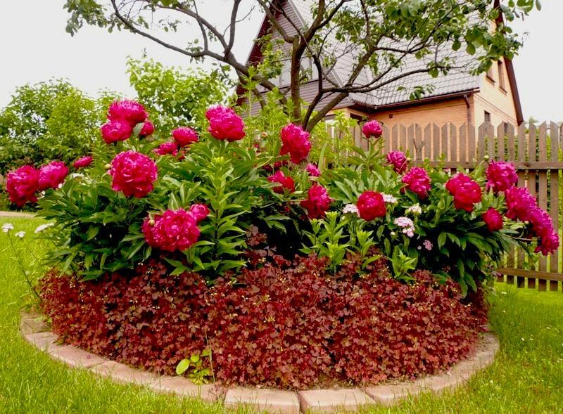 Пионарий по красоте и аромату уступает только саду из роз