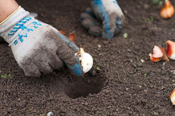 Тюльпаны следует сажать в установленный срок на супесчаные, богатые перегноем, а также нейтральные или слабощелочные почвы